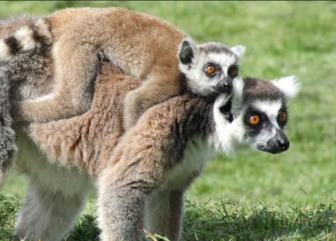 Los lemures son muy habituales en esta isla, según Ernesto Colman